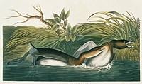 Pied_billed grebe Podilymbus podiceps. Illustration from John James Audubon´s ´Birds of America´, original double elephant folio 1834_35, hand_coloure...