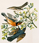 Sage thrasher Oreoscoptes montanus and varied thrush Ixarius naevius. Illustration from John James Audubon´s ´Birds of America´, original double eleph...
