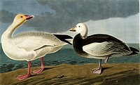 Snow goose Anser caerulescens. Illustration from John James Audubon´s ´Birds of America´, original double elephant folio 1835_38, hand_coloured aquati...