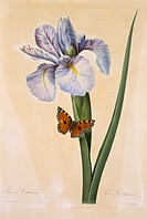 Spanish Iris Iris xiphium flower. Painting by Pierre Joseph Redout, from his ´Choix des plus belles fleurs´ The Most Beautiful Flowers 1827_1833.