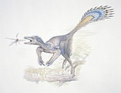 Microraptor zhaoianus, artwork. Microraptor was a small, feathered dromaeosaurid dinosaur that glided through the forests of China during the Cretaceo...