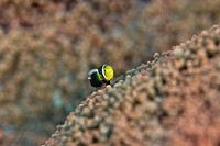 Yellowmargin triggerfish. Juvenile saddleback anemonefish Amphiprion polymnus on a reef. Photographed in the Lembeh Strait, Sulawesi, Indonesia.