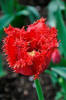 Uncommon Tulip