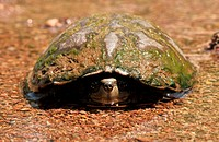 A Sonoran Mud Turtle, Kinosternon sonoriense sonoriense, an endangered species, sits in a stream in Gardner Canyon, along the Arizona Trail, Santa Rit...