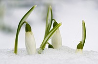 Snowdrops, galathus, in flower emerging through snow covered ground, England, February