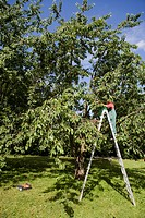 Woman pruning trees on ladder