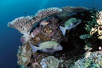 Coral and fish in Sipadan, Borneo, Malaysia