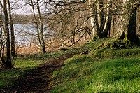 Woodland on the shore of Lough Owel, Mullingar, County Westmeath, Ireland