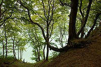 Beech trees above the chalk cliffs, Ruegen island, Jasmund National Park, Baltic Sea, Mecklenburg_West Pomerania, Germany