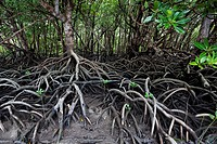 Mangroves on Cape York Peninsula, North Queensland, Australia