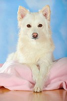 Spitz crossbreed lying on a pink blanket