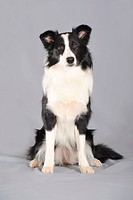 Border Collie, sitting