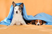 Mixed-breed dog and a Kooikerhondje looking out from under a blue blanket