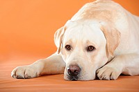 Yellow Labrador Retriever lying down with its head on the ground