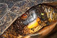 Blandings Turtle Emydoidea blandingii