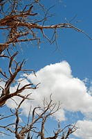 Dead Tree Against Blue Sky and Clouds, Moab, Utah, USA