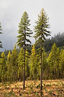 Two Larch Trees in Cleared Forest, Kalispell, Montana, USA