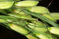 Assassin bug on rice branch
