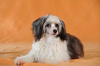 Chinese Crested Hairless Dog, Powderpuff, lying