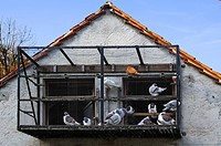 Carrier pigeons in a cage at a dovecote, Betzenstein, Upper Franconia, Bavaria, Germany, Europe
