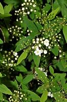 Sambucus nigra  Elder, Elderberry, Black Elder, European Elder, European Elderberry, European Black Elderberry  Fam  Adoxaceae  Turo del Putget park  ...
