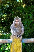 Indonesia, Bali, macaque