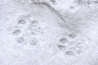 Eurasian lynx Lynx lynx footprints in the snow in winter, Bavarian Forest National Park, Germany