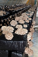 Pleurotus ostreatus, Oyster mushrooms cultivation, Agri-Food, Ayecue Fresh, Grupo Riberebro, Autol, La Rioja, Spain