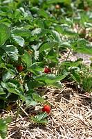 Strawberrie field