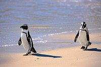 Jackass Penguin, Spheniscus demersus, Boulder, Simon´s Town, Western Cape, South Africa, Africa, couple at beach