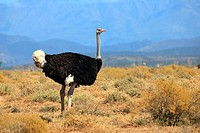 South African Ostrich, Struthio camelus australis, Oudtshoorn, Klein Karoo, South Africa, Africa, adult male