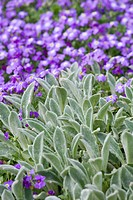 STACHYS BYZANTINA WITH AUBRETIA