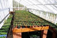 BEDDING PLANT CUTTINGS IN LARGE TRADITIONAL VICTORIAN GREENHOUSE