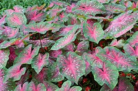 CALADIUM ´RED FLASH´