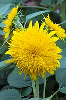 HELIANTHUS ANNUUS ´SUN KING´