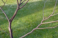 WINTER PRUNING CONGESTED STEMS ON A YOUNG TREE SERIES 5 FINISHED TASK