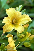 HEMEROCALLIS ´BOULDER BROOK SERENITY´