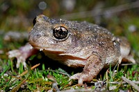 Iberian midwife toad Alytes cisternasii in Valdemanco, Madrid, Spain
