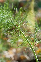 Some organic Fennel in the Fall
