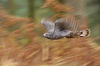 Northern Goshawk Accipiter gentilis adult male, in flight, blurred movement, over bracken in pine woodland, North Yorkshire, England, november captive