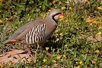 Chukar Partridge Alectoris chukar adult male, carrying flower in beak, patrolling territory, Greece, april