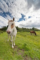 Horses Grazing In A Field, Northumberland England