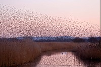Common Starling Sturnus vulgaris flock, in roosting flight, over reedbed habitat with Mute Swans Cygnus olor on water at sunset, Somerset, England, ja...