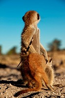 Meerkat Suricata suricatta adult, with porcupine quill stuck in side, sitting with young, Kalahari Meerkat Project, Kuruman River Reserve, Kalahari De...