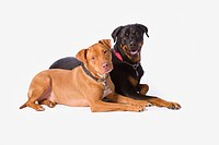 A Pitbull And A Rotweiller On A White Studio Background, St. Albert Alberta Canada