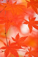 red japanese maple leaves, hakone, japan