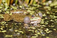 Marsh Frog Pelophylax ridibundus adult, calling, with inflated throat sacs, at surface of water, England, april captive