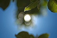 light shining through a leaf on a tree, san francisco, california, united states of america