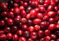 Common Cranberry Vaccinium oxycoccus close_up of picked fruit, Whitewell, Lancashire, England, december
