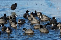 Common Coots on Ice, Fulica atra, Hamburg, Germany